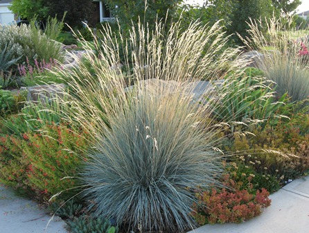 Cutting back ornamental grasses garden connect for Blue decorative grass