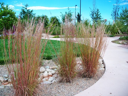 Little bluestem grass garden connect for Blue grasses for the garden
